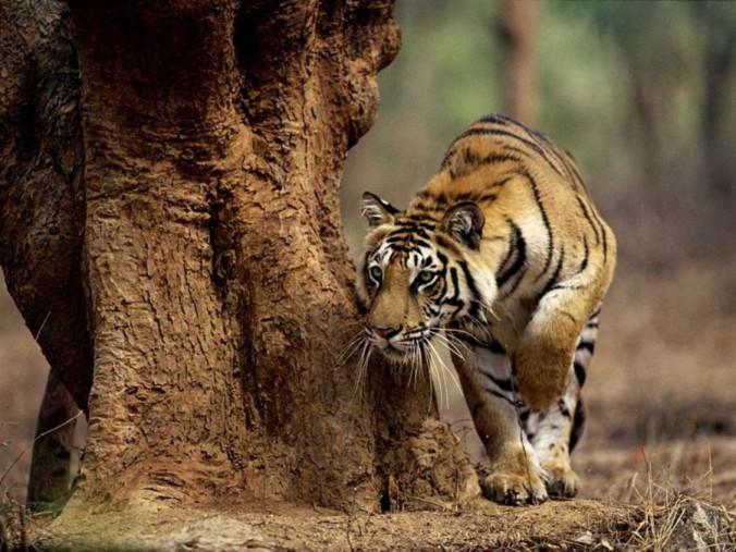 Indian-tiger--900x675